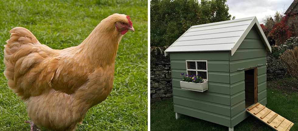 "<a href=""http://www.southhouse.co.uk/chickens/"">Now Selling Beautiful Ornamental Chicken Coops & Chickens</a>"