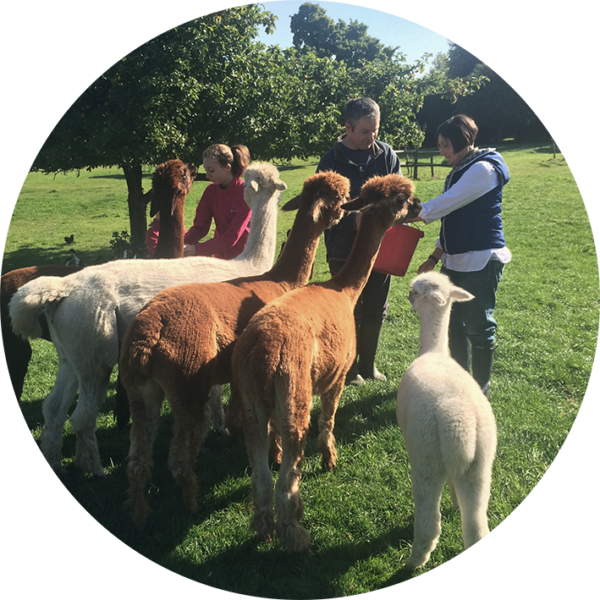 Immersive alpaca for beginner class at South House in the Cotswolds, the perfect way to get to know our animals and admire their luxurious organic fur.