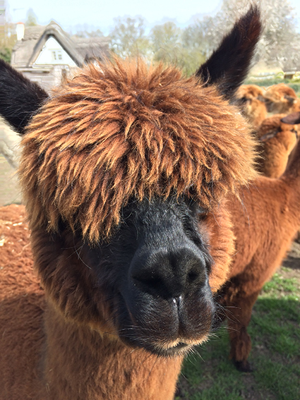, Alpaca for Beginners